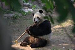 Obligatory Panda